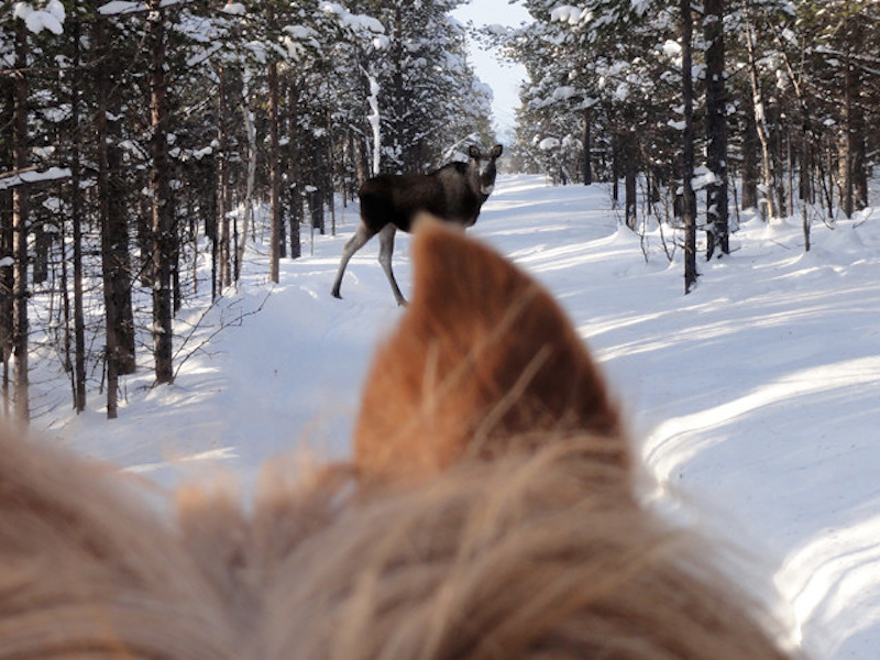 Picture of Horseback moose safari
