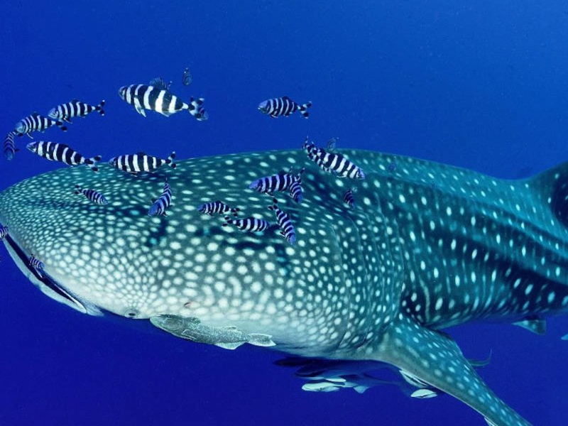 Picture of Whale Shark Expedition and Picnic